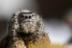 跳的潜伏的影子蜘蛛 图库摄影
