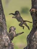 跳的狒狒在马塞人玛拉国家公园胡闹 库存图片