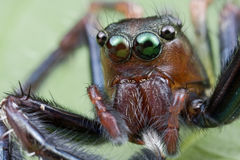 跳的纵向蜘蛛 免版税图库摄影