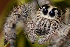 跳的蜘蛛(特写镜头) 免版税库存照片