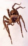 跳的蜘蛛 免版税库存照片