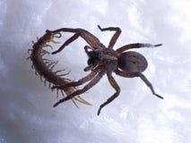 跳的蜘蛛 免版税库存图片