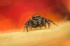跳的蜘蛛(Phlegra fasciata) 免版税库存图片