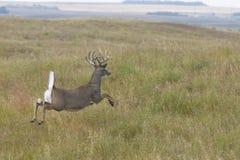 跳的鹿 免版税库存图片