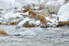 跳的猴子 行动猴子从日本的野生生物场面 胡闹日本短尾猿,猕猴属fuscata,跳跃横跨冬天河, Hok 库存图片