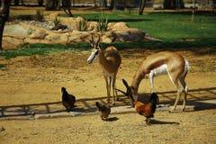 跳羚和鸡(i) 免版税库存照片