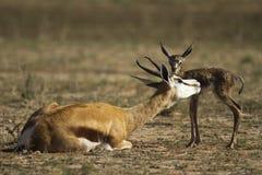 跳羚母亲和小牛 免版税库存照片