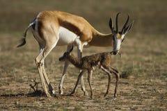 跳羚母亲和小牛 库存照片