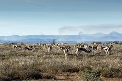 跳羚的领域 库存照片