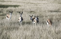 跳羚羚羊在大草原的反缝制施舍贫民衣服妇女会marsupialis 免版税图库摄影