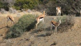 跳羚羚羊在自然生态环境 股票录像
