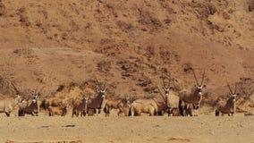 跳羚羚羊牧群在一个水坑的在纳米比亚大草原 免版税库存图片