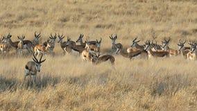 跳羚羚羊牧群 免版税图库摄影