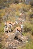 跳羚羚羊,南非。 库存照片