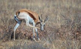 跳羚非洲中型羚羊 图库摄影