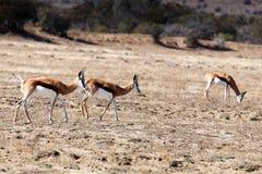跳羚-野生生物公园的生活 免版税库存图片