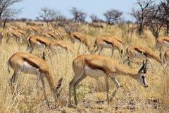 跳羚-从非洲的野生生物背景-和谐和宁静 免版税库存图片