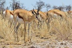 跳羚-从非洲的野生生物背景-泛音哺养 免版税库存照片