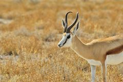 跳羚-从非洲的野生生物背景-金黄Ram 免版税库存图片