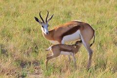 跳羚-非洲野生生物背景-妈妈和她的小动物 库存图片