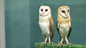 跳舞两只凉快的谷仓猫头鹰一起坐和 影视素材
