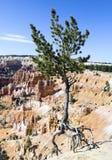 跳舞国家公园结构树犹他的bryce 免版税库存图片
