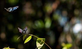 跳舞在太阳的两只蓝色老虎蝴蝶发出光线 免版税库存图片