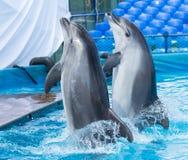 跳舞在水池的两只海豚 库存图片