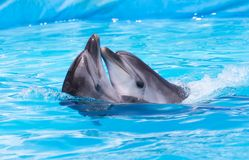 跳舞在水池的两只海豚 免版税库存图片