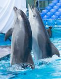 跳舞在水池的两只海豚 库存照片