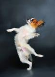 跳舞小狗 免版税库存照片