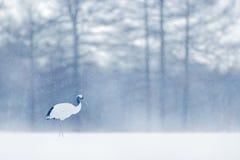 跳舞有在飞行中开放翼的红被加冠的起重机,与雪风暴,北海道,日本 在飞行,与雪花的冬天场面的鸟 免版税库存照片