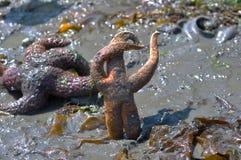 跳舞海星 库存图片