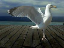 跳舞海鸥 库存图片