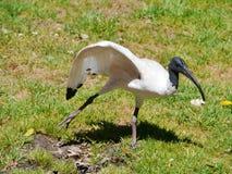 跳舞澳大利亚白色朱鹭在公园 库存照片