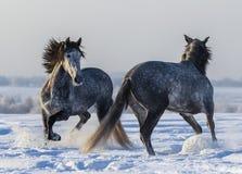 跳舞的安达卢西亚的马 两匹西班牙灰色公马使用 库存图片
