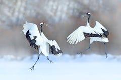 跳舞的对有开放翼的红被加冠的起重机,冬天北海道,日本 斯诺伊舞蹈本质上 美丽的大whi求爱  图库摄影