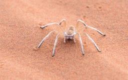 跳舞的白夫人Spider,纳米比亚,非洲 免版税库存照片