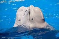 跳舞的白鲸夫妇 库存照片