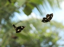 跳舞的蝴蝶 免版税库存图片