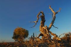 跳舞结构树 图库摄影