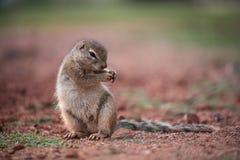 跳舞非洲的地松鼠吃或 免版税库存照片