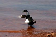 跳舞鸭子 库存图片