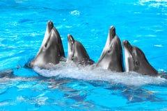 跳舞Lambada的四条海豚和白海豚 免版税图库摄影