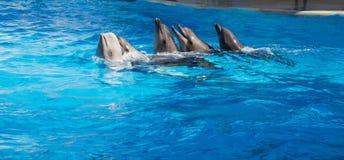 跳舞Lambada的海豚 免版税图库摄影