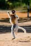 跳舞Sifaka在地面上 滑稽的照片 马达加斯加 免版税库存照片