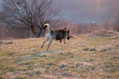 跳象狐狸的狗 免版税图库摄影