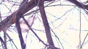 跳跃从分支的灰色灰鼠底视图分支一棵树在一个晴朗的冬日 为逗人喜爱的灰鼠关闭  股票视频