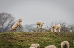 跳跃充分产小羊春天喜悦  免版税库存照片