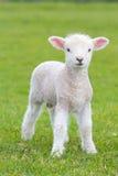 跳跃在一个草甸的小逗人喜爱的羊羔在农场 库存图片